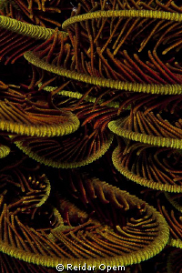 Christmas tree or feather star? by Reidar Opem 